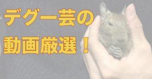 デグーの芸の人気動画、厳選5つ!