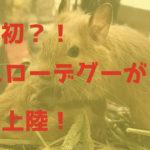 黄色のデグーが遂に日本初上陸!実際に店舗で手に入れた情報も!