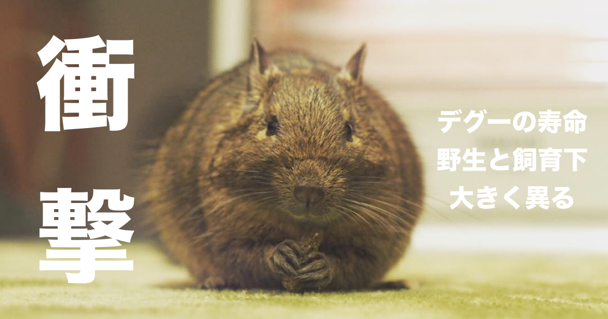 【衝撃の事実】野生のデグーの寿命の短さに驚き!デグーの寿命はどれくらい?