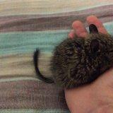 赤ちゃんデグーと過ごす時間は尊いのでたくさん触れ合うべきという話